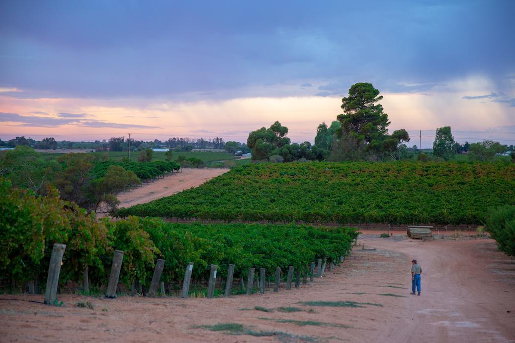 scenic view of grape vines