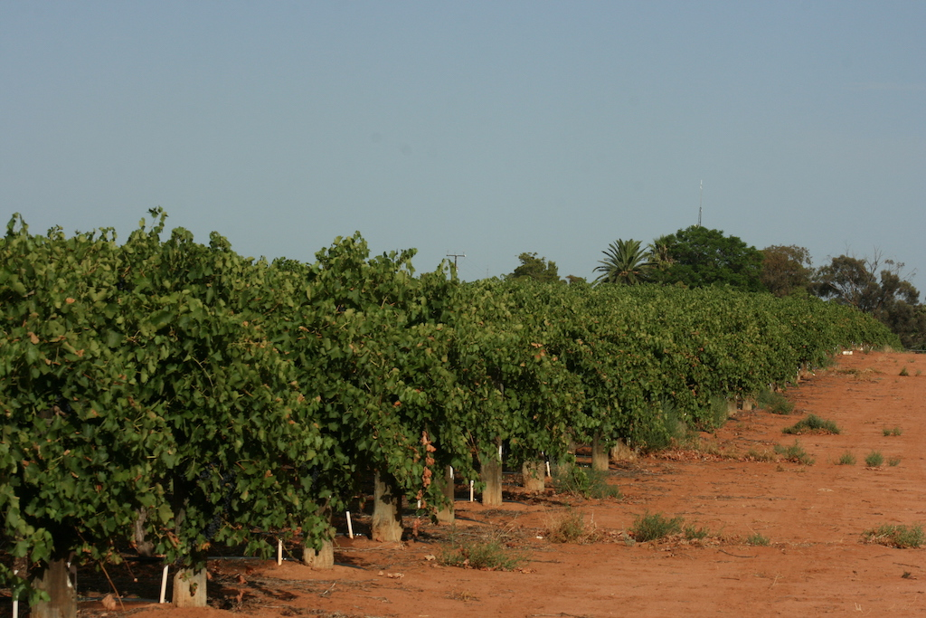 field of grape vines